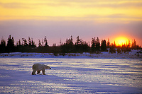 Polar Bear (Ursus maritimus) walking across frozen tundra near patch of boreal forest.  Canada.