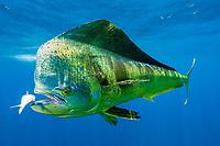 dorado, mahimahi, mahi-mahi, dolphinfish, or dolphin-fish, Coryphaena hippurus, large bull (male), eating bait fish, off Isla Mujeres, near Cancun, Yucatan Peninsula, Mexico (Caribbean Sea)