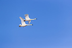 Two trumpeter swans flying over a lake in northern Wisconsin.