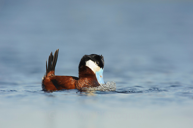 """Adult male Ruddy Duck (Oxyura jamaicensis) in breeding plumage performing a """"bubbling display"""". In this display, which is used in both courtship and aggressive territorial encounters, the male holds its head and tail and 2 rows of feathers on its crown (""""horns"""") erect and inflates its neck. It then beats its bill rapidly against its neck, forcing air out of feathers, causing bubbles to appear in the water.  A low wheezing belching sound is uttered at the end of the display. Alberta, Canada. May."""