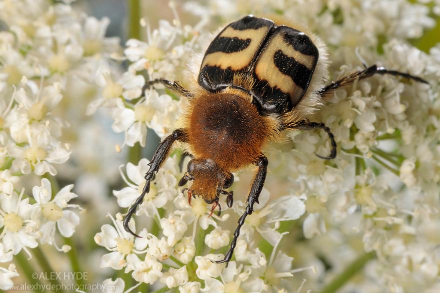 Bee Beetle {Trichius fasciatus}. Nordtirol, Austrian Alps, Austria, July.