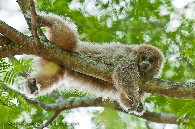White-coated Titi Monkey (Callicebus pallescens) resting on a tree in tropical dry forest, Kaa-Iya del Gran Chaco National Park, Santa Cruz, Bolivia.