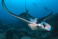 reef manta ray, Manta alfredi, feeding, and research divers, Necker, Northwestern Hawaiian Islands or the Leeward Islands, Papahanaumokuakea Marine National Monument, the largest marine wildlife reserve in the world, Hawaii, USA, Pacific Ocean