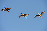 Damon, Texas; two adult and one juvenile white ibis birds flying overhead in formation against a blue sky in late afternoon sunlight