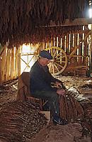 Europe/France/Midi-Pyrénées/46/Lot/Vallée du Lot/Cahors: Triage des feuilles de tabac sur le causse<br /> PHOTO D'ARCHIVES // ARCHIVAL IMAGES<br /> FRANCE 1990