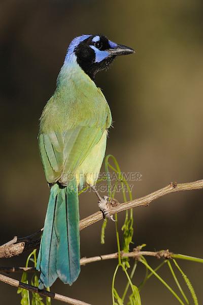 Green Jay (Cyanocorax yncas), adult, Dinero, Lake Corpus Christi, South Texas, USA