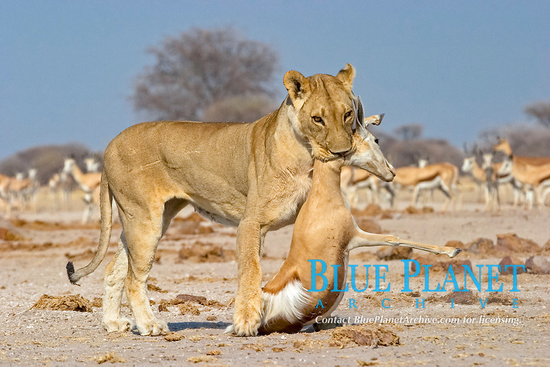Lion, Lioness (Panthera leo) with a killed springbok, (Antidorcas marsupialis), Nxai Pan, Makgadikgadi Pan National Park, Botswana, Africa