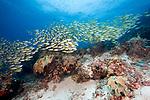Coral reef, Lutjanus kasmira, Bluestripe snapper, Raja Ampat, Indonesia