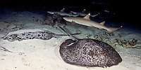 White Tip Reef Sharks ( Triaenodon obesus ) hunting at night pass over Marbled Rays, underwater off Cocos Island, Costa Rica.
