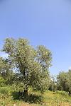 Israel, Jerusalem mountains, Olive trees on Mount Heret