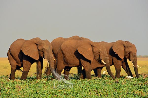 African Elephants.African Elephants feeding on marsh plants in wetlands along lake shore.  Africa.
