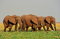 African Elephants.African Elephants feeding on marsh plants in wetlands along lake shore.  Africa.