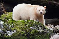 """Kermode """"Spirit"""" Bear looking over a mossy rock"""