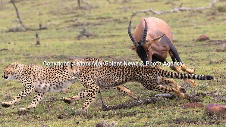Pictured:  Sequence 7 of 11: The female Topi continues to chase the cheetahs away from her calf.<br /> <br /> An antelope accidentally crashes into its young calf as flee from five cheetahs.  The female topi had been grazing peacefully with the youngster before the predators attacked.<br /> <br /> Fortunately the pair were eventually able to escape by sprinting away from the hungry cheetahs.  The dramatic images were captured in the Naobosho Conservancy, on the Mara Reserve in Kenya by photographer Marc Mol.  SEE OUR COPY FOR DETAILS.<br /> <br /> Please byline: Marc Mol/Solent News<br /> <br /> © Marc Mol/Solent News & Photo Agency<br /> UK +44 (0) 2380 458800