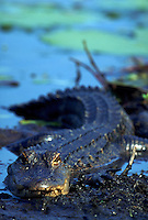 An American Alligator.