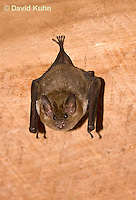 0715-1110  Seba's Short-tailed Bat, Roosting in Building in Belize, Carollia perspicillata  © David Kuhn/Dwight Kuhn Photography