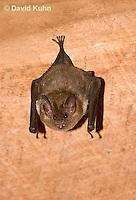 0715-1110  Seba's Short-tailed Bat, Roosting in Building in Belize, Carollia perspicillata  © David Kuhn/Dwight Kuhn Photography