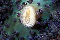oral disc of warty corallimorph, Discosoma sanctithomae, Commonwealth of Dominica (Eastern Caribbean Sea), Atlantic
