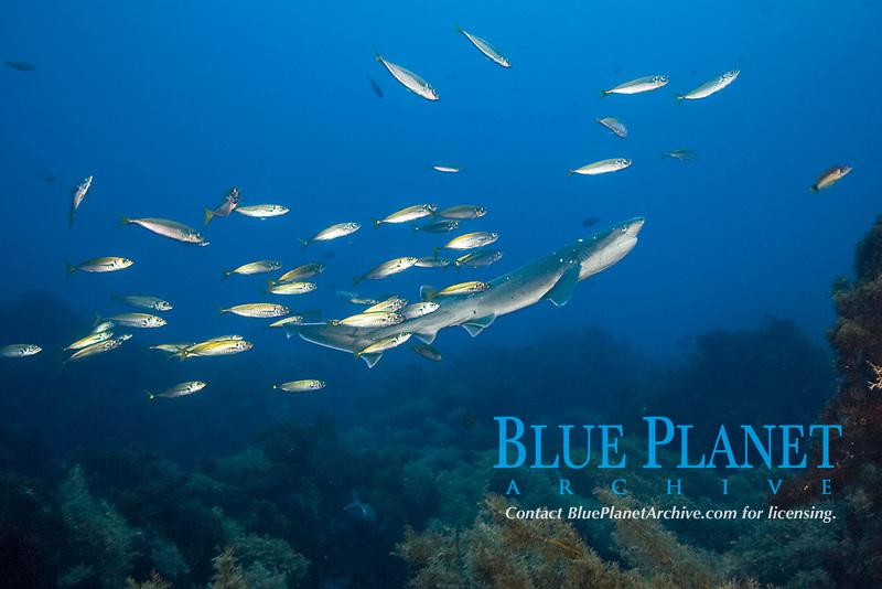 broadnose or bluntnose sevengill shark or spotted cow shark, Notorynchus cepedianus, with horse mackerel or yellowtail jack mackerel, Trachurus novaezelandiae New Zealand (South Pacific Ocean)