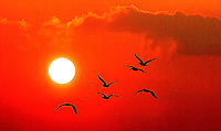 Seabirds fly before a setting sun in a coastal area of the United States. (Photo taken near Charleston, SC, but could represent any coastal area.