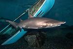 Sand tiger shark swimming left near shipwreck