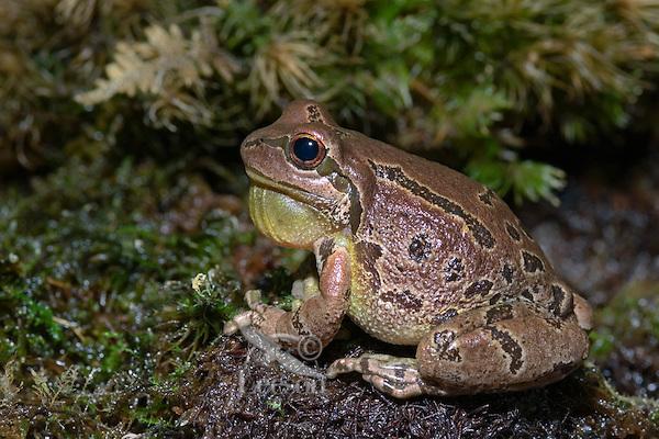 Pacific Tree Frog croaking..Southern British Columbia. Canada..Spring. Hyla regilla.
