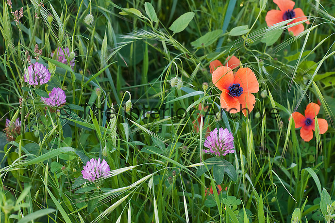 Wildflowers such as poppies and clover are encouraged to grow in the meadow below the gardens