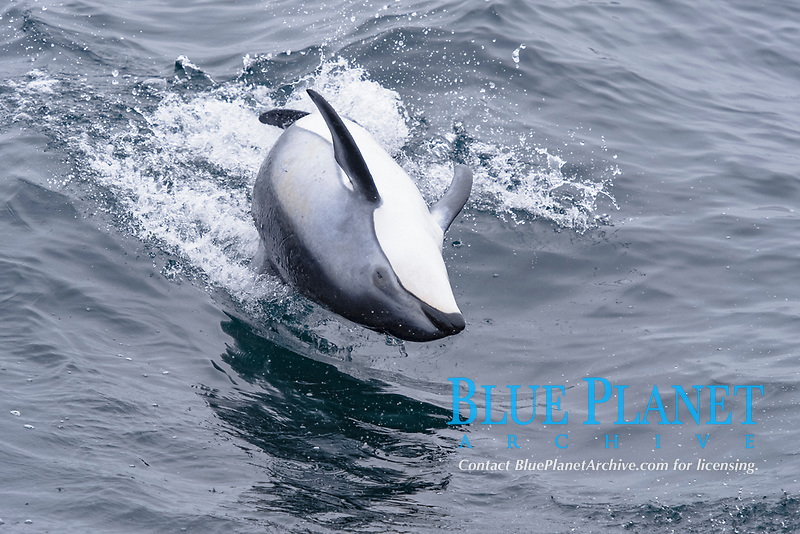 Pacific white-sided dolphin, Lagenorhynchus obliquidens, unusual spinning behaviour, Monterey, California, USA, East Pacific Ocean