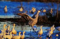 Sandhill crane (Grus canadensis), Western U.S., late winter.