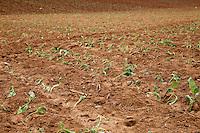 Cuba, Pinar del Rio Region, Viñales (Vinales) Area.  Freshly-Transplanted Tobacco Seedlings.