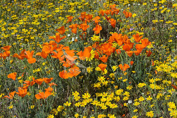 Wildflowers--mostly California poppies and  California goldfields cover the ground near the Antelope Valley California Poppy Reserve.  March.