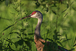 Sandhill crane walking in the shade of a choke cherry tree.