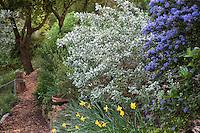 Shrub border with Ceanothus 'Julia Phelps' and silver foliage native plant Quail Bush Atriplex lentiformis ssp.breweri, or Saltbush in drought tolerant Southern California garden on hillside with oaks, daffodils and mulched path