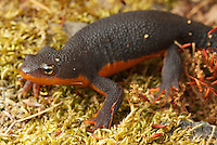 Rough-skinned newt, Taricha granulosa. Mendocino County, California