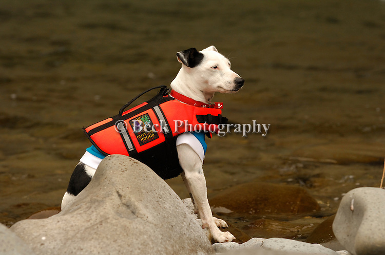 Trixie, a fox terrier, in a life preserver in NZ.