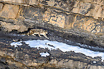 Elderly male snow leopard (Panthera uncia)(formerly Uncia uncia) stalking Siberian ibex (Capra sp.). Spiti Valley, Himachal Pradesh, northern India.