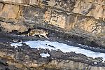 Elderly male snow leopard (Panthera uncia)(formerly Uncia uncia) stalking Siberian ibex (Capra sp.). Spiti Valley, Himachal Pradesh, northern India.