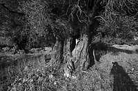 """AND-Olive trees, Ionian Islands """"Dance with Mary"""" exhibition selection 2017"""