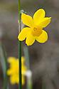 Wild jonquil (Narcissus jonquilla var. henriquesii), mid February.