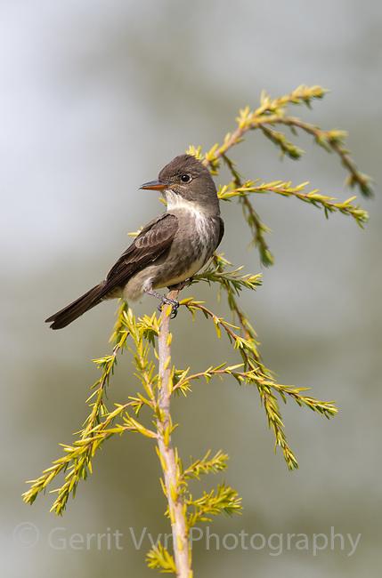 Olive-sided Flycatcher (Contopus cooperi). Oregon.