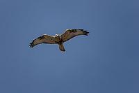 Rough-legged Hawk in flight, Wyoming roadside