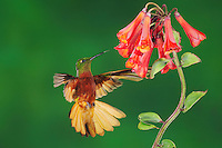 Chestnut-Breasted Coronet (Boissonneaua matthewsii), adult feeding from Lily Vine flower,Papallacta, Ecuador, Andes, South America