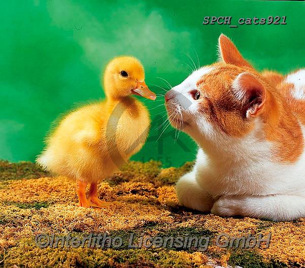 Xavier, ANIMALS, REALISTISCHE TIERE, ANIMALES REALISTICOS, cats, photos+++++,SPCHCATS921,#a#, EVERYDAY