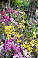 Orchids at Moir Gardens. Klahuna Plantation Resort. Kauai, Hawaii