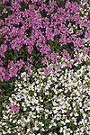 NEMESIA FRUTICANS 'AROMATICA WHITE IMPROVED' AND 'AROMATICA ROSE PINK'