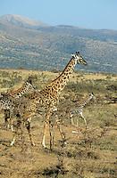 "Afrika Ostafrika Tansania Nationalpark Serengeti , Giraffe. -  Wildlife Natur xagndaz | .East africa Tanzania Nationalpark Serengeti , giraffe.  -  nature wildlife .| [ copyright (c) Joerg Boethling / agenda , Veroeffentlichung nur gegen Honorar und Belegexemplar an / publication only with royalties and copy to:  agenda PG   Rothestr. 66   Germany D-22765 Hamburg   ph. ++49 40 391 907 14   e-mail: boethling@agenda-fototext.de   www.agenda-fototext.de   Bank: Hamburger Sparkasse  BLZ 200 505 50  Kto. 1281 120 178   IBAN: DE96 2005 0550 1281 1201 78   BIC: ""HASPDEHH"" ,  WEITERE MOTIVE ZU DIESEM THEMA SIND VORHANDEN!! MORE PICTURES ON THIS SUBJECT AVAILABLE!! ] [#0,26,121#]"