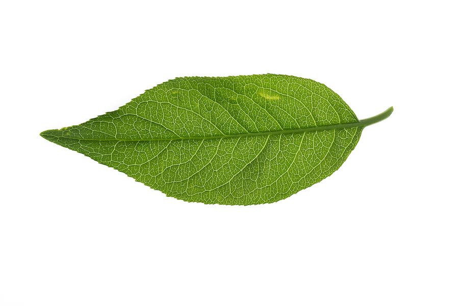 Pfaffenhütchen, Europäisches Pfaffenhütchen, Gewöhnlicher Spindelstrauch, Pfaffenkäppchen, Euonymus europaeus, common spindle, European spindle, Le Fusain, Fusain d'Europe. Blatt, Blätter, leaf, leaves
