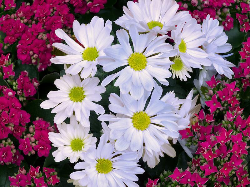 Close up of Red Kalanohoe blossfeldiana and white Chrysanthemum.