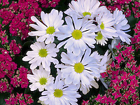 Close up of Red Kalanohoe blossfeldiana and white Chrysanthemum.