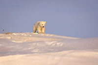 polar bear, Ursus maritimus, newborn spring cub playing outside its den, mouth of Canning River along the Arctic coast, eastern Arctic National Wildlife Refuge, Alaska, polar bear, Ursus maritimus